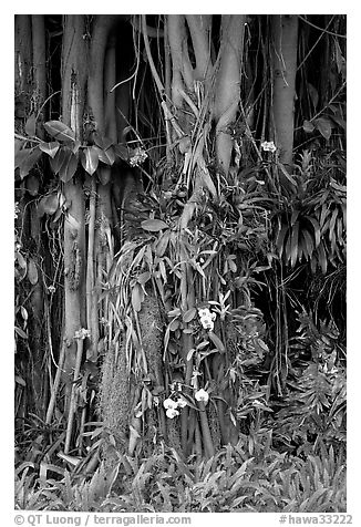 Banyan roots and tropical flowers, Hanapepe. Kauai island, Hawaii, USA
