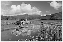 Plantation workers with truck, Hanalei Valley, afternoon. Kauai island, Hawaii, USA (black and white)
