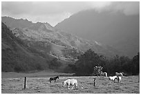 Horses and mountains near Haena. North shore, Kauai island, Hawaii, USA ( black and white)