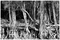 Exposed tree roots,  Kee Beach, late afternoon. North shore, Kauai island, Hawaii, USA (black and white)