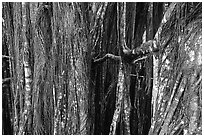 Banyan tree trunk. Akaka Falls State Park, Big Island, Hawaii, USA ( black and white)