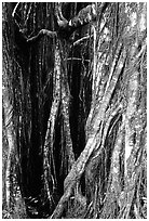 Banyan tree trunk close-up. Akaka Falls State Park, Big Island, Hawaii, USA ( black and white)