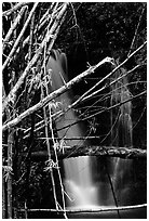 Bamboo branches and waterfall. Akaka Falls State Park, Big Island, Hawaii, USA ( black and white)