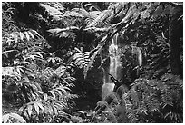 Waterfall amidst lush vegetation. Akaka Falls State Park, Big Island, Hawaii, USA ( black and white)