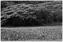 Taro field and forest, Waipio Valley. Big Island, Hawaii, USA ( black and white)