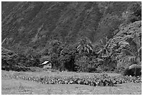 Taro farm, Waipio Valley. Big Island, Hawaii, USA ( black and white)