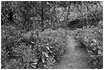 Trail in forest, Waipio Valley. Big Island, Hawaii, USA ( black and white)