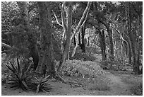 Coastal forest,  Waipio Valley. Big Island, Hawaii, USA ( black and white)