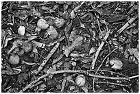 Forest floor close-up with fallen fruits. Maui, Hawaii, USA (black and white)