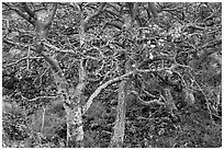 Native trees. Maui, Hawaii, USA ( black and white)