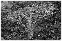 Hawaiian tree and lava rock. Maui, Hawaii, USA ( black and white)