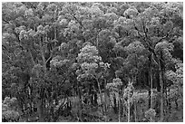 Eucalyptus forest. Maui, Hawaii, USA (black and white)