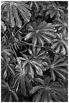 Trumpet tree (Cecropia obtusifolia) leaves. North shore, Kauai island, Hawaii, USA ( black and white)