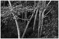 White Siris trees. North shore, Kauai island, Hawaii, USA ( black and white)