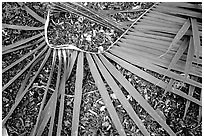 Basket being weaved from a single palm leaf. Tutuila, American Samoa ( black and white)
