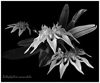 Bulbophyllum annandalei. A species orchid (black and white)
