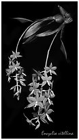 Encyclia vitellina. A species orchid (black and white)
