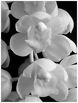 Cymbidium Mini Sarah 'Pearl Fall' Flowers. A hybrid orchid (black and white)
