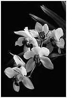 Cymbidium Rincon Lady 'Zita'. A hybrid orchid (black and white)