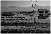 Floating gardens. Inle Lake, Myanmar (black and white)