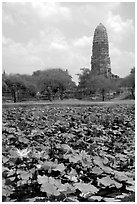 Lotus pond and  corn-shaped chedi. Ayutthaya, Thailand ( black and white)