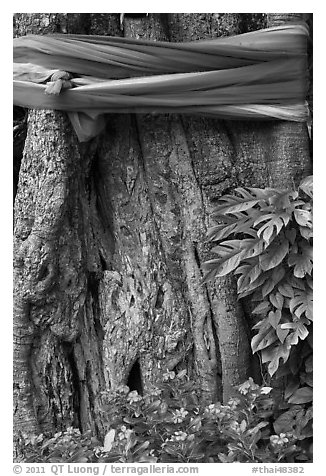Detail of sacred banyan tree with ribbons, Ko Phi-Phi island. Krabi Province, Thailand