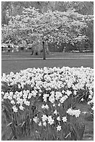 Daffodils and tree in bloom, Saint James Park. London, England, United Kingdom ( black and white)
