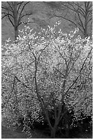 Trees in bloom, Greenwich Park. Greenwich, London, England, United Kingdom (black and white)