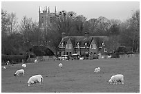 Sheep in pasture, village houses and church, Avebury, Wiltshire. Wiltshire, England, United Kingdom (black and white)