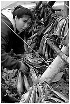 Inupiaq Eskimo woman hanging fish for drying, Ambler. North Western Alaska, USA ( black and white)