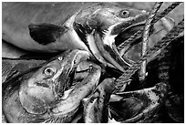 Salmon freshly caught. Homer, Alaska, USA (black and white)