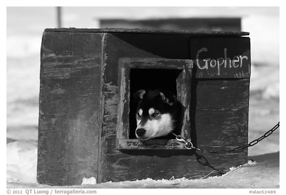 Husky dog peeking out of doghouse. North Pole, Alaska, USA
