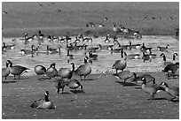Migrating birds at Creamer's field. Fairbanks, Alaska, USA (black and white)