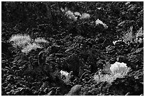 Sage and black lava, Lava Beds National Monument. California, USA (black and white)