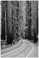 Car on road amongst tall redwood trees, Richardson Grove State Park. California, USA (black and white)