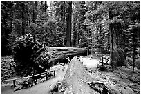 Fallen Redwoods trees, Humbolt State Park. California, USA (black and white)