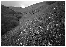 Lupine, Gorman Hills. California, USA (black and white)