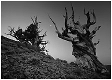 Old Bristlecone Pine trees and moon at sunset, Discovery Trail, Schulman Grove. California, USA (black and white)