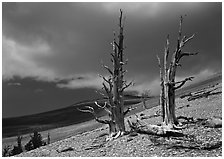 Dead Bristlecone pines on barren slopes with storm clouds, White Mountains. California, USA (black and white)