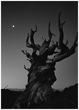 Gnarled Bristlecone Pine tree and moon at sunset, Schulman Grove. California, USA (black and white)