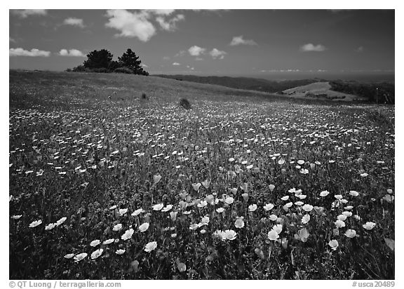 Wildflower carpet and tree cluster, Russian Ridge. Palo Alto,  California, USA (black and white)
