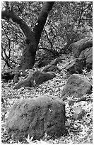 Moss-covered boulders and sycamore,  Alum Rock Park. San Jose, California, USA (black and white)