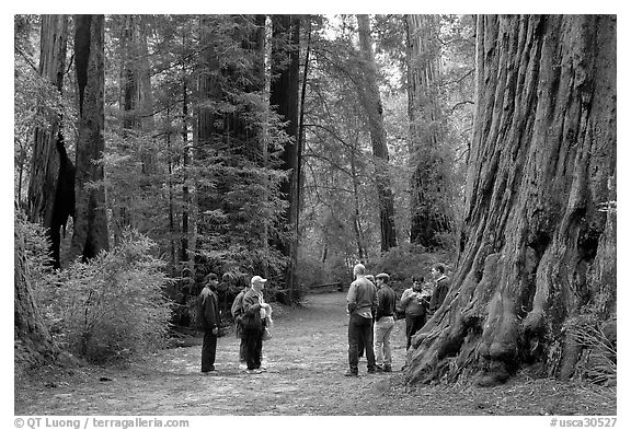 Tourists amongst redwood trees. Big Basin Redwoods State Park,  California, USA