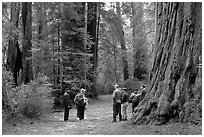 Tourists amongst redwood trees. Big Basin Redwoods State Park,  California, USA (black and white)