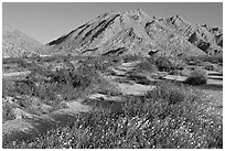 Wildflowers, Sheephole Mountains. Mojave Trails National Monument, California, USA ( black and white)