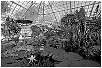 Water lilies in the the Conservatory of Flowers. San Francisco, California, USA (black and white)