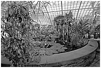 Carnivorous  plant in the Aquatic plants section of the Conservatory of Flowers. San Francisco, California, USA (black and white)