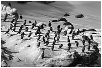Cormorants, the Cove. La Jolla, San Diego, California, USA (black and white)
