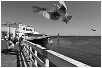 Seagull landing, Wharf. Santa Cruz, California, USA (black and white)