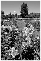 Roses, Municipal Rose Garden. San Jose, California, USA (black and white)
